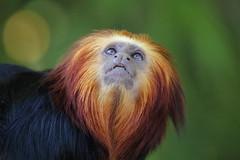 Golden Headed Lion Tamarin (charliejb) Tags: goldenheadedliontamarin tamarin primate 2016 fur furry furred bristolzoo zoo wildlife