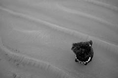 Mina (rwhgould) Tags: tofino britishcolumbia canada beach southchestermansbeach dog poodle