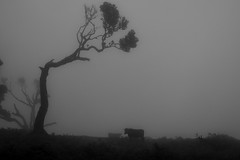 Going to the Darklands (Aymeric Gouin) Tags: portugal madeira madère europe fanal monochrome black white noir blanc cow vache nature landscape paysage silhouette fog brume mist mood atmosphere tree arbre olympus omd em10 aymgo aymericgouin