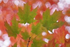 rable  sucre (Patrice StG) Tags: qubec bokeh boisdecoulonge automne autumn fall rable maple feuille leaf leaves feuilles chinon50mmf14
