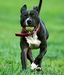 Got it!! (Leon.Daniel) Tags: pitbull fetch dog action