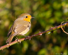Robin-7631 (kevinmayhew62) Tags: robin erithacusrubecula