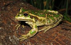 Motorbike Bell Frog (Litoria moorei) (Heleioporus) Tags: motorbike bell frog litoria moorei near walpole western australia