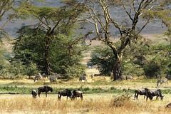 Wildlife landscape (Nicolas Bousquet) Tags: ngorongoro tanzania tanzanie safari savana savane gamedrive gnu wildlebeest zebra zebre africa afrique