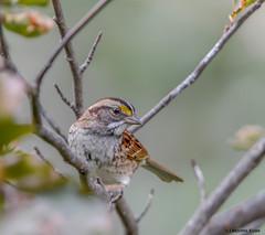 White-throated Sparrow (Summerside90) Tags: birds birdwatcher sparrows whitethroatedsparrow october fall backyard garden nature wildlife ontario canada