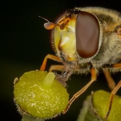 Hoverfly (Dexon123) Tags: eupeodes latifasciatus hoverfly insect macro uk essex