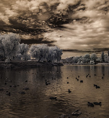 Water Flowl at Lindo Lake (Bill Gracey) Tags: ir infrared infraredphotography convertedinfraredcamera lindolake birds clouds sky trees highcontrast nature naturalbeauty surreal