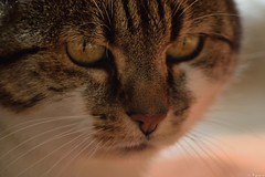 Dans les yeux de Minet (Mystycat =^..^=) Tags: minetthecat chat cat gato gatto kitty katze animal félin feline portrait coth5