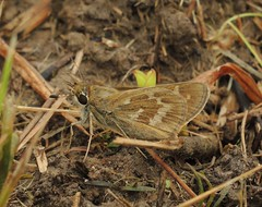 Sachem (Atalopedes campestris) (Rezamink) Tags: sachem atalopedescampestris butterflies usa