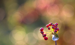 Why not?? ((Raffaella@)) Tags: bacche rosso red light luce foglie leaves bokeh berries macro canon pyracantha