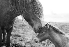 (SollaMatt) Tags: iceland horse love motherlove cute blackandwhite outside animal outdoor horses foal nature stilness life