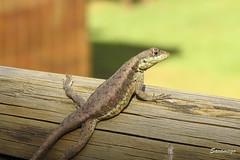Tomando sol (jbsaramago) Tags: itacar bahia brasil br saramago jbsaramago natureza nature pennsulademara reptil lagarto