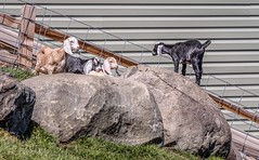 Born Leader (Wes Iversen) Tags: brighton fencefriday hff kensingtonmetropark michigan milford nikkor24120mm animals babygoats farmanimals fence fences goats mammals rocks