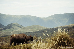 DSC_6065 (Frankie Tseng ()) Tags: 101 taipei101 taipei taiwan yms yangmingshan yangmingmtn mtn sunset smog haze landscape scenery view silver grass silvergrass season