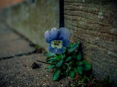 Sleaford, Lincolnshire (Reynard_1884) Tags: microfourthirds sleaford olympus flowernature england greatbritain em5 olympusomdem5 markettown micro43rds lincolnshire mu43 concrete mirrorless uk olympusomd
