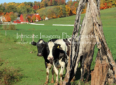 Cows Pose bt Tree Stump  5819 (intricate_imagery-Jack F Schultz) Tags: jackschultzphotography intricateimageryphotography amishcountry ohioamish southeasternohio cows animals cowsposing treestump