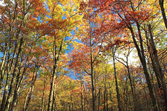 Mount Wismer Nature Preserve (2) (Nicholas_T) Tags: pennsylvania monroecounty mountwismernaturepreserve mtwismernaturepreserve poconos hiking trees forest deciduous temperatedeciduousforest foliage canopy nature autumn creativecommons
