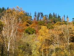 Callander Crags (Niall Corbet) Tags: scotland perthshire callandercrags callander autumn woodland forest birch betula