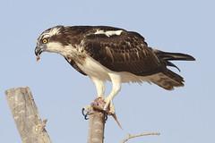 Osprey (Pandion haliaetus) (www.clivetemple.com) Tags: osprey uae duba qudra bird fish hawk