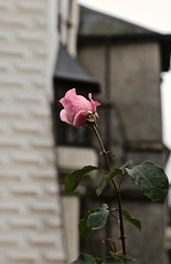 A Rose in Bloom at Rožmberk Castle (smilla4) Tags: flower rose waterdrops closeup depthoffield czechrepublic rozmberkcastle rozmberknadvltavou