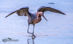 DSC_4801 (mikeyasp) Tags: egrets reddishegrets birds avian outdoors nature wings feathers egrettarufescens