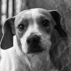 Mickey06Nov1600013-Edit-2.jpg (fredstrobel) Tags: dogs pawsatanta phototype atlanta blackandwhite usa animals ga pets places pawsdogs