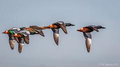 Northern Shovelers (Bob Gunderson) Tags: anasclypeata baylands california dabblingducks ducks northerncalifornia northernshoveler santaclaracounty southbay