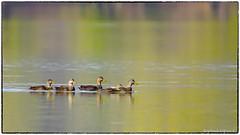 American Black Ducks with a Mallard hybrid (RKop) Tags: a77mk2 600mmf4apogminolta oxbowlawrenceburgin raphaelkopanphotography sony