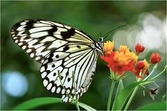 Papiervlinder......paper Butterfly (atsjebosma) Tags: vlinder vlindertuin butterflygarden atsjebosma thenetherlands havelte macro bokeh october flower bloem 2016 papiervlinder ngc npc