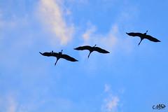 grues (neku.chou) Tags: grues cendres bird oiseau plume migration vol fly nikon nikond5200 nikonphotography lacduder der lac marne hautemarne bec