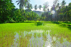 The Green Rice Fields of Bohol (free3yourmind) Tags: green rice fields palm trees water mountain sun light rays bohol philippines