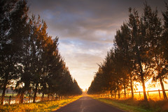 Avenue Of Light || HAWKESBURY || NSW (rhyspope) Tags: australia aussie nsw new south wales hawkesbury richmond lowlands rhys pope rhyspope canon 5d mkii road street avenue trees pines sunrise sunset nature landscape clouds golden light sky rural country countryside farm