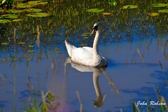 Mute Swan_97_5588-D32 (john_robson) Tags: muteswan prunedfeatherinbeak pittlakebc bccanada