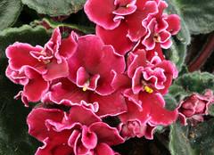 22-IMG_4754 (hemingwayfoto) Tags: berggartenhannover blhen blte blume flora floristik natur topfpflanze usambara usambaraveilchenbobserbin veilchen zierpflanze zuchtform
