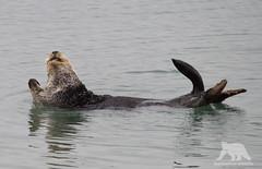 Chilling Otter (fascinationwildlife) Tags: animal mammal sea otter seeotter wild wildlife nature natur moss landing california monterey bay usa america cute ocean