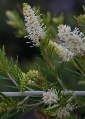 Grevillea trachytheca, Kings Park, Perth, WA, 02/09/16 (Russell Cumming) Tags: plant grevillea grevilleatrachytheca proteaceae kingspark perth westernaustralia