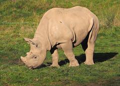 Young Black Rhino (.annajane) Tags: chesterzoo zoo rhino rhinoceros blackrhino blackrhinoceros dicerosbicornis mammal animal