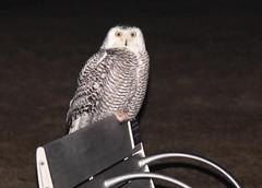 Park Bench Snowy (marylee.agnew) Tags: snowy owl night bird raptor urban city park bench nature outdoor