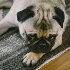 Heitu-00044 (kiddfei2012) Tags: pug dog pet puppy