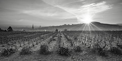 Sarments de Champagne (Oiseau Bondissant) Tags: epernay vignes