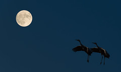 Eloping to the Moon (chaojiansong) Tags: wildlife nature bird birding birds moon night crane sandhillcrane