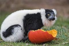 Lemur and pumpkin (Tambako the Jaguar) Tags: black white ruffed profile eating pumpkin food grass lemur primate parcanimalier saintecroix park parc rhodes zoo france nikon d5