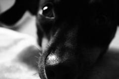 IMG_1115 (elBompy) Tags: nice foto forlife life forlive pet dog pinscher mypet mydog photo eyes elder colombia day