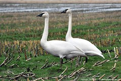 2016-12-01 Trumpeter Swans (01) (1024x680) (-jon) Tags: anacortes skagitcounty skagit washingtonstate salishsea pugetsound nredriverroad haxtonway whatcom whatcomcounty redriver lummi cygnusbuccinator trumpeterswan swan bird waterfowl pacificnorthwest winter a266122photographyproduction pair feeding field cornfield zwaan schwan cigno cisne 天鹅 天鵝 백조 bellingham
