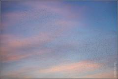 A skyful of starlings (FlickrDelusions) Tags: rspb murmuration oxfordshire rspbotmoor starlingsflocking otmoor