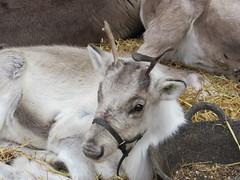 3/12/2016, 338/365, Resting reindeer IMG_0567 (tomylees) Tags: reindeer grove centre witham essex november 2016 3rd saturday project 365