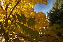 The Annals of Autumn 12 (LongInt57) Tags: trumpet vine maple tree fir sky leaf leaves autumn coniferous deciduous fall nature garden kelowna bc canada okanagan green yellow golden blue white brown