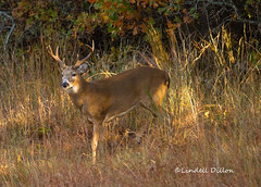 Buck in early morning light (Lindell Dillon) Tags: buck whitetail deer stag wildlife nature oklahoma lindelldillon autumn shade fall rut