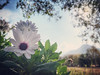 African daisy (VillaRhapsody) Tags: flower summer daisy view africandaisy