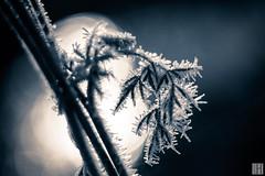 iceflower (gregor H) Tags: feldkirch vorarlberg österreich at flower ice winter cold dark light reflection swarovski kristall christmas macro frost blue backlight bokeh december